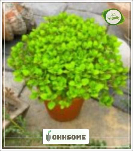 Pinkdose Herb Pflanzensamen für Balkon Oregano Pflanze Samen Samen Küche Garten Samen Packung...