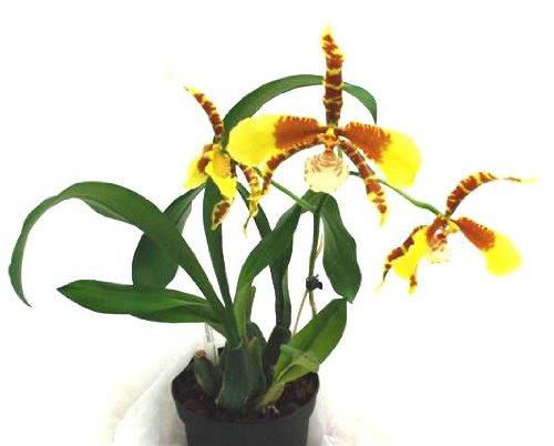 1 blühfähige Orchidee der Sorte: Rossiglossum Rawdon J, 13cm Topf