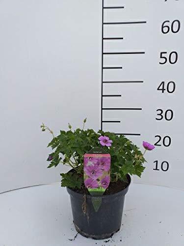 Späth Staude im Topf Storchschnabel 'Pink Penny' purpur-violett-rosa blühend, Blütenstauden...
