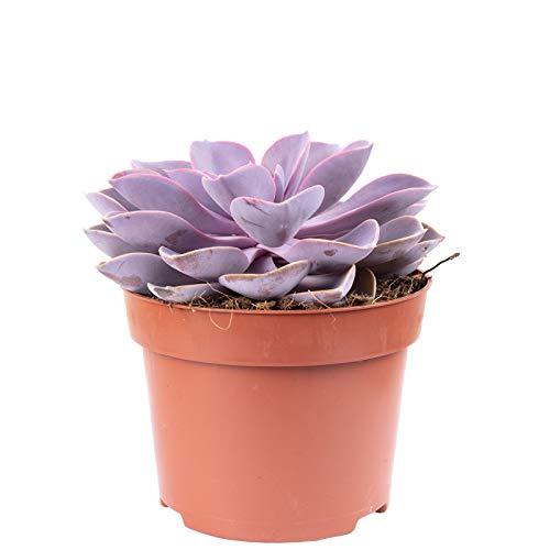 Echeverie - Echeveria purple pearl - Höhe ca. 20 cm, Topf-Ø 12 cm