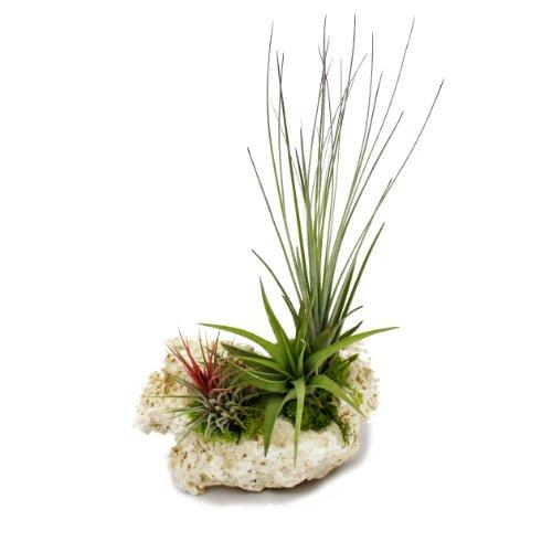 Exotenherz - Tillandsien auf Sansibar-Rock - XL - 3 Pflanzen