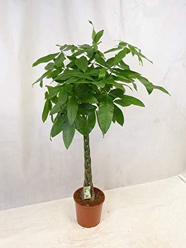 [Palmenlager] - Pachira aquatica 150/160 cm - Glückskastanie/Zimmerpflanze