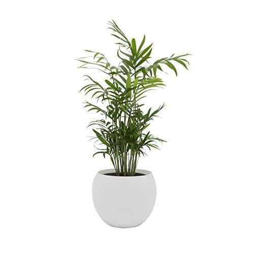 Dominik Blumen und Pflanzen, Zimmerpalme im Topf 'Cresto Weiß' Zimmerpflanze, Grün, 40 x 20 x 20...