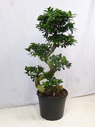 [Palmenlager] - XXL Ficus microcarpa GINSENG 120(!) cm - // Zimmerpflanze BONSAI
