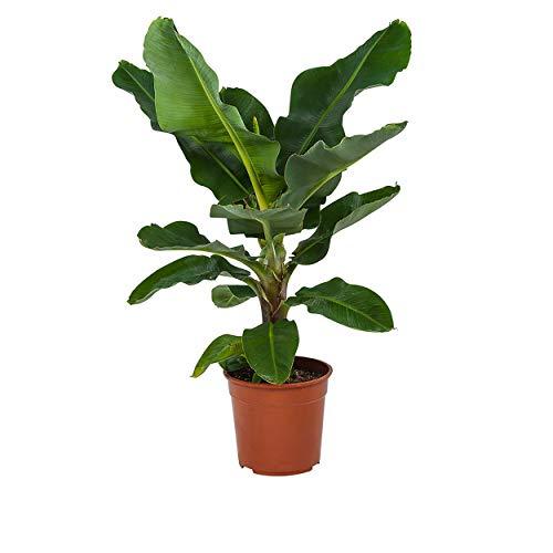 Indoor-Helden Musa 'Dwarf Cavendish' - Bananenpflanze, Topf-Ø: 27 cm Höhe 80 cm Exotischer...