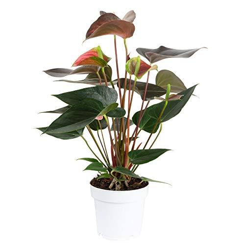 Große Flamingoblume 6-8 Blüten geflammt - Anthurium andr. Champion - Höhe ca. 50 cm, Topf-Ø 14...