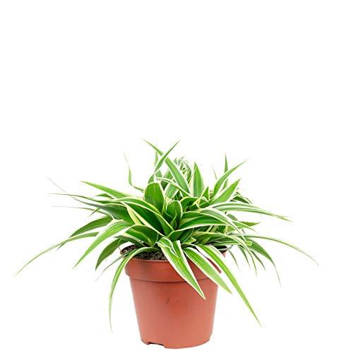 Grünlilie 'Ocean' - Chlorophytum Comosum - Höhe ca. 20 cm, Topf-Ø 12 cm