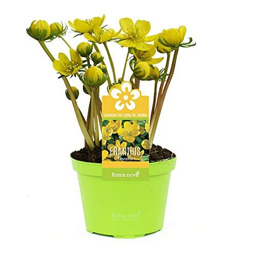 3x Eranthis hyemalis | Winterlinge Zwiebeln im Topf | Gelbe Blumen | Blumenzwiebeln Frühblüher |...