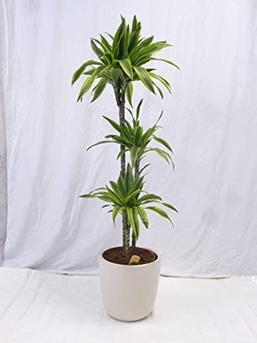 [Palmenlager] - Dracaena lemon lime 140/150 cm - Drachenbaum - 3er Tuff - 27 cm Ø...