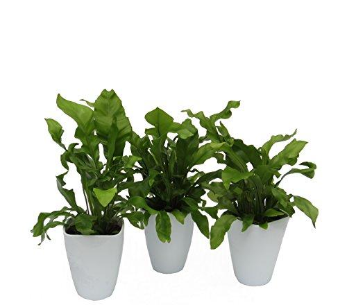 Dominik Blumen und Pflanzen, Zimmerpflanzen Nestfarn 'Asplenium nidus', 3 Pflanzen, circa 15 cm...
