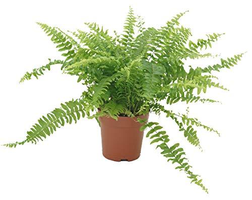 Schwertfarn, (Nephrolepis exaltata), luftreinigende Zimmer und Büropflanze, verbessert das...