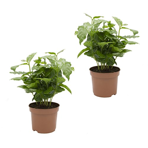 Dominik Blumen und Pflanzen, Kaffee - Pflanze, Coffea arabica, 2 Pflanzen, 12 cm Topf, 20 - 30 cm...