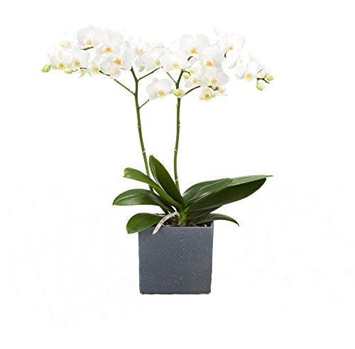 Dominik Blumen und Pflanzen, Zimmerpflanzen Orchidee, Phalaenopsis, weiß blühend, 2 triebig 1...