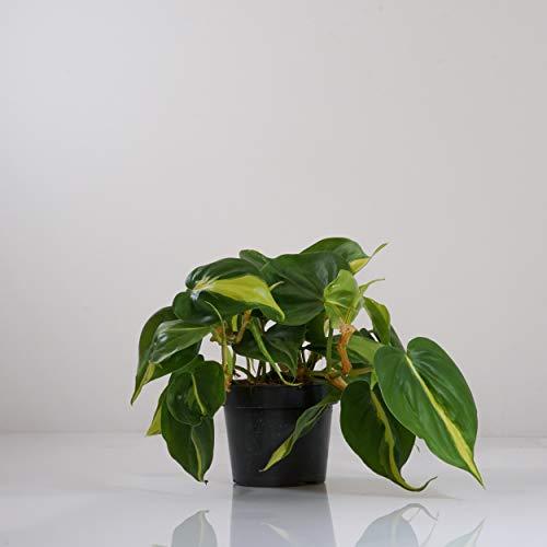 Indoor-Helden Philodendron scandens Brasil Kletterphilodendron Zimmerpflanze Urban Jungle