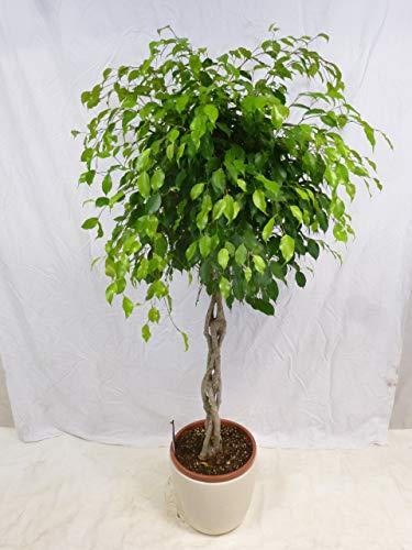 [Palmenlager] - XXL Ficus benjamini'Exotica' 170 cm - Hochstamm geflochten -...
