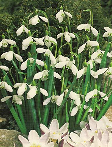 Schneeglöckchen Galanthus (25 Blumenzwiebeln)