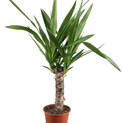 Dominik Blumen und Pflanzen, Yucca - Palme, Palm - Lilie, Yucca elephantipes, 11 cm Topf, 30 - 50 cm...