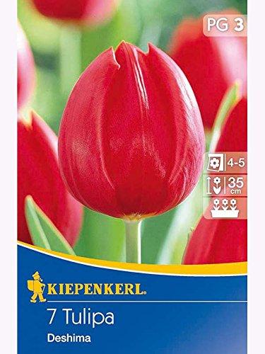 Triumph-Tulpen Deshima rot