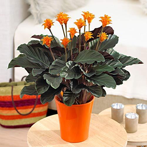 Calathea crocata | Marantaceae | Pfeilwurz mit orangenen Blüten | luftreinigende Korbmarante |...