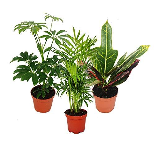 Exotenherz - Zimmerpflanzen Set mit 3 Pflanzen - Typ 1-9cm