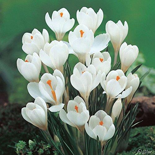 Krokus Zwiebeln Jeanne d'Arc - 15 Blumenzwiebeln (Crocus) - Krokusse zum Pflanzen, mehrjährig,...