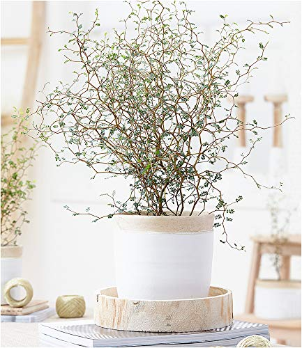 BALDUR-Garten Maori® Sophora Cotoneaster'Little Baby',1 Pflanze Zimmerpflanze Schnurbaum