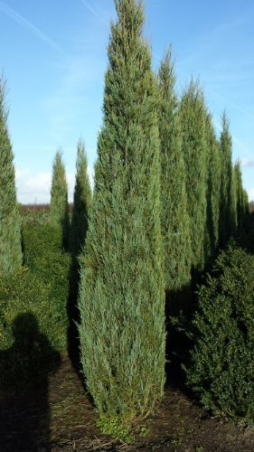blauer Raketen Wacholder Juniperus scopulorum Blue Arrow 60 - 80 cm hoch im 4 Liter Pflanzcontainer