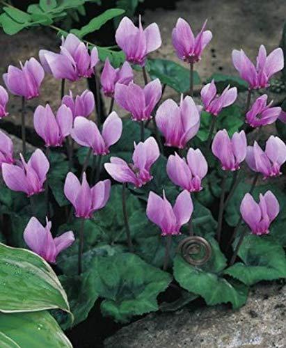 Garten Alpenveilchen Cyclamen Winterhart (´1 Blumenzwiebel)