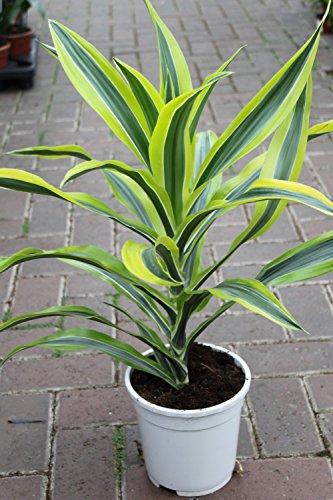 """Zimmerpflanze für Wohnraum oder Büro – Dracaena fragrans – """"Lemon and Lime"""". Höhe 60cm"""