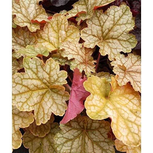 Heuchera - Purpurglöckchen'Ginger Ale' - winterhart, im Topf 12 cm, in Gärtnerqualität von Blumen...