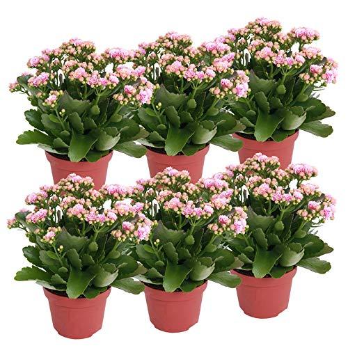 Pflanzen Kölle Flammendes Käthchen 'Calandiva'®, 6er-Set, Kalanchoe blossfeldiana, rosa-weiß,...