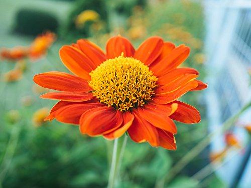 Mexikanische Sonnenblume 10 Samen Tithonia