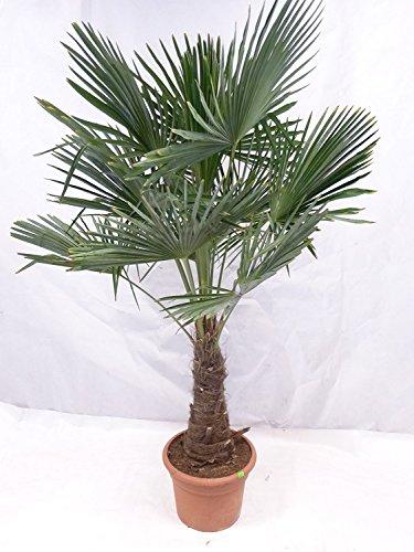 XXL Winterharte Palme XXL Stamm 40-50 cm - Trachycarpus fortunei 'Chinesische Hanfpalme' 160-170 cm