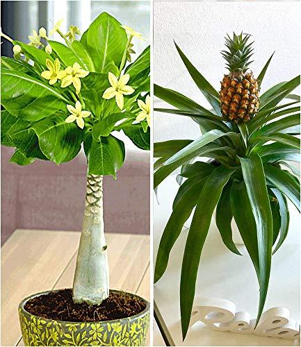 BALDUR-Garten Zimmerpflanzen-Mix'Südsee', 2 Pflanzen 1 Pflanze Hawaii-Palme und 1 Pflanze...
