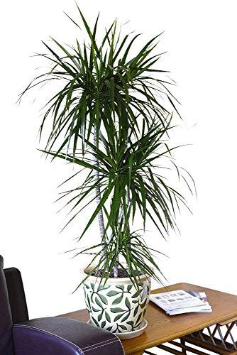 Zimmerpflanze für Wohnraum oder Büro – Dracaena marginata - Drachenbaum. Höhe ca. 80cm