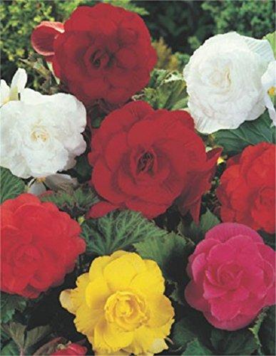 Begonien Großblütig gefüllt gemischt Knollenbegonien Blumenzwiebeln (5 Blumenzwiebeln)