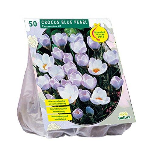 Glooke Selected BALTUS Crocus Chrysanthus Blue Pearl Blumengarten & Hort, Mehrfarbig
