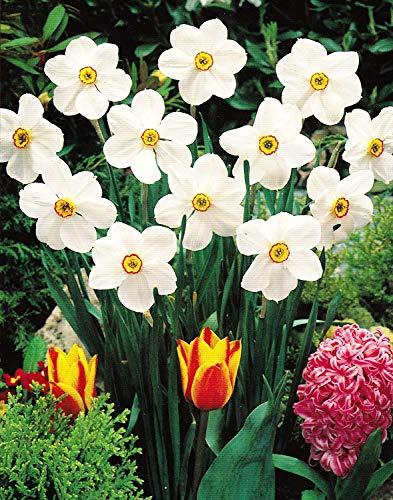 30 Dichternarzissen Actaea duftend Narzissen Blumenzwiebeln Narcissus