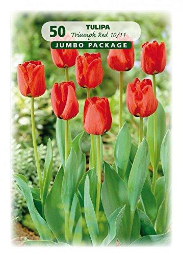 Quedlinburger 308450 Tulpe rot (50 Stück) (Tulpenzwiebeln)