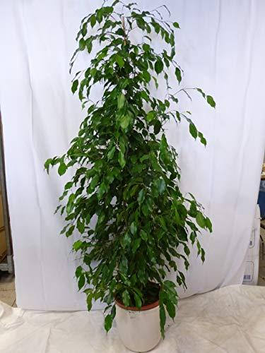 [Palmenlager] Ficus benjamini'Exotica' 180/200 cm - Zimmerpflanze