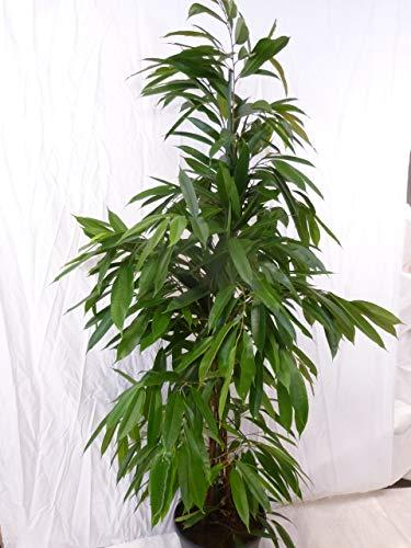 [Palmenlager] - Ficus bin.'Amstel King' - 160 cm/Zimmerpflanze ähnlich benjamini