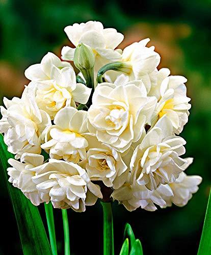5x Narcissus'Erlicheer' | Weiße Narzissen Zwiebeln | Blumenzwiebeln Narzissen 13-15 cm