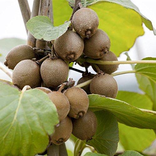 Kiwi Pflanze Sorte Jenny selbstbefruchtend und winterhart, kräftige Pflanzen im Topf gewachsen ca....