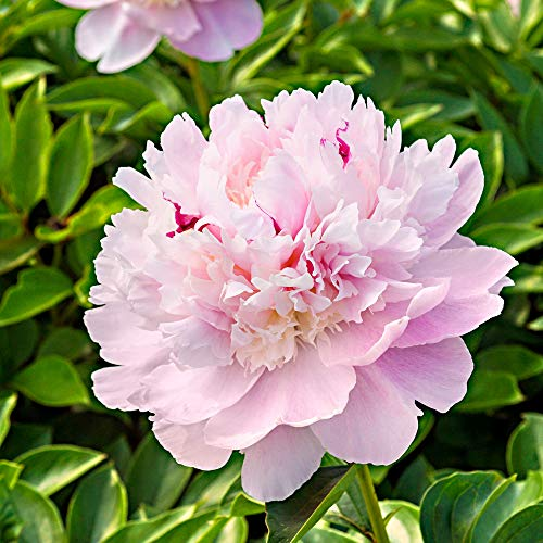 Chinesische Pfingstrose 'Eden's Perfume' 2/3 - äugig - 1 Stück Blumenzwiebeln, Direkt von...