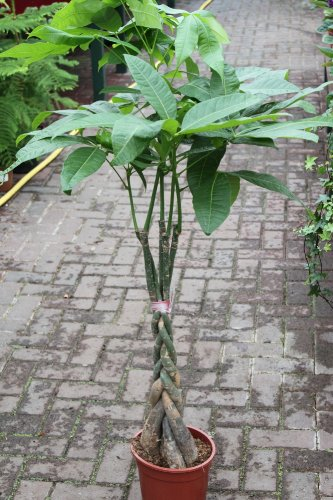 Zimmerpflanze für Wohnraum oder Büro - Pachira Aquatica - Glückskastanie - ca. 95cms hoch, mit...