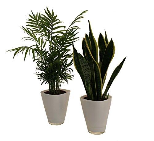 Dominik Blumen und Pflanzen, Zimmerpflanzen-Duo, Zimmerpalme und Sanseveria, Dekotopf, weiß