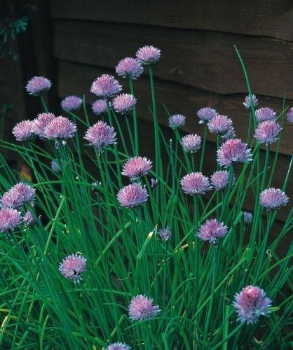 JustSeed - Kraut - Schnittlauch (Allium schoenoprasum) - 400 Seeds