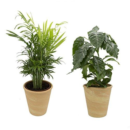 Dominik Blumen und Pflanzen, Indoor Duo - Kaffeepflanze und Zimmerpalme mit Dekotopf, terrakotta,...