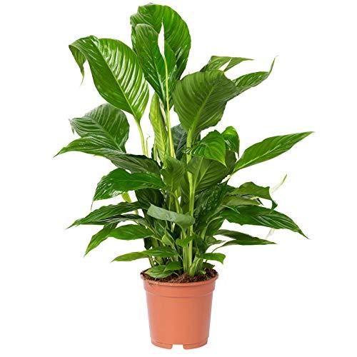 Pflanzen Kölle Einblatt, Spathiphyllum 'Vivaldi', Gesamthöhe ca. 60-80 cm