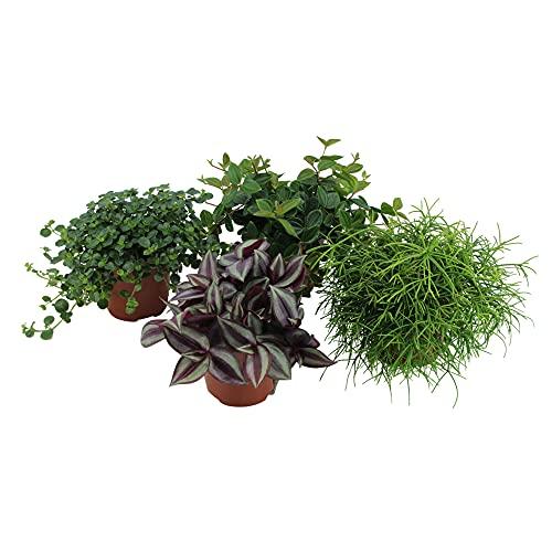 4x Mix Hängepflanzen | Peperomia angulata, Pilea depressa, Tradescantia zebrina, Rhipsalis cashero...